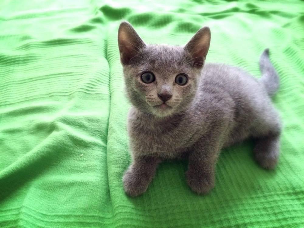 Foto04 Russian Blue male kitten