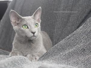 2017.08.19-russian blue cat comprar gato azul ruso barcelona 01