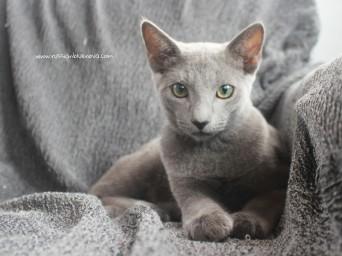 2017.08.19-russian blue cat comprar gato azul ruso barcelona 02