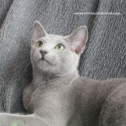 2017.08.19-russian blue cat comprar gato azul ruso barcelona 05