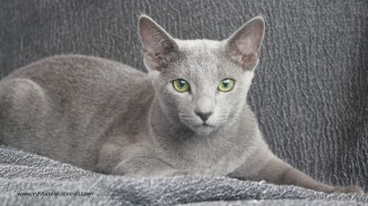 2017.08.19-russian blue cat comprar gato azul ruso barcelona 09
