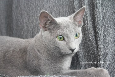 2017.08.19-russian blue cat comprar gato azul ruso barcelona 10