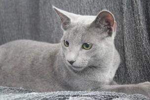 2017.08.19-russian blue cat comprar gato azul ruso barcelona 11