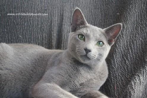 2017.10.08-russian blue cat comprar gato azul ruso barcelona 15 grimoire