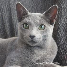 2017.10.08-russian blue cat comprar gato azul ruso barcelona 16 grimoire