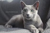 2017.10.08-russian blue cat comprar gato azul ruso barcelona 17 grimoire