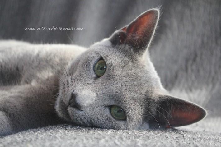 2017.10.08-russian blue cat comprar gato azul ruso barcelona 18 grimoire