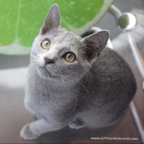 2017.10.29-comprar gato azul ruso barcelona russian blue cat barcelona azul ruso 05