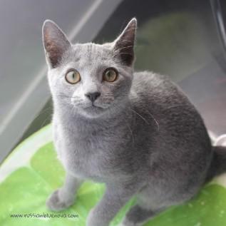 2017.10.29-comprar gato azul ruso barcelona russian blue cat barcelona azul ruso 09