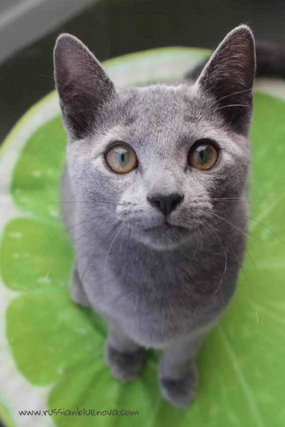 2017.10.29-comprar gato azul ruso barcelona russian blue cat barcelona azul ruso 11