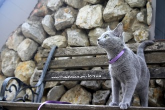 azul-ruso-barcelona-comprar-gatos-espana-russian-blue-cats-breedercat-barcelona-01