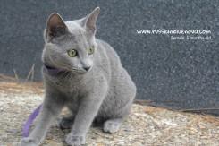 comprar gato azul ruso barcelona catalunya españa russian blue cat barcelona