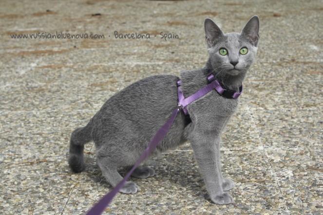 azul-ruso-barcelona-comprar-gatos-espana-russian-blue-cats-breedercat-barcelona02