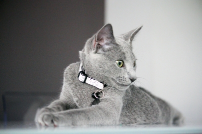 azul-ruso-nova-russian-blue-gato-kitten00