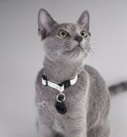 azul-ruso-nova-russian-blue-gato-kitten03