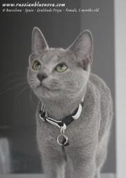 azul-ruso-nova-russian-blue-gato-kitten04