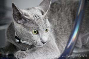 azul-ruso-nova-russian-blue-gato-kitten05