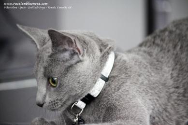 azul-ruso-nova-russian-blue-gato-kitten06