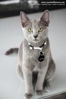 azul-ruso-nova-russian-blue-gato-kitten07