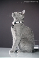 azul-ruso-nova-russian-blue-gato-kitten08