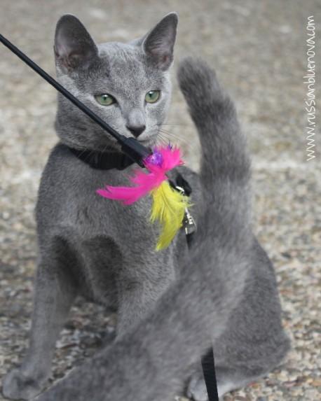 russian-blue-nova-azul-ruso-barcelona-cattery-kitten-09
