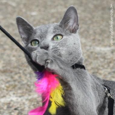 russian-blue-nova-azul-ruso-barcelona-cattery-kitten-10
