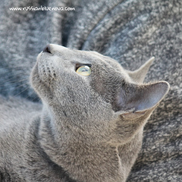 2017.01.15-russianblue gris02