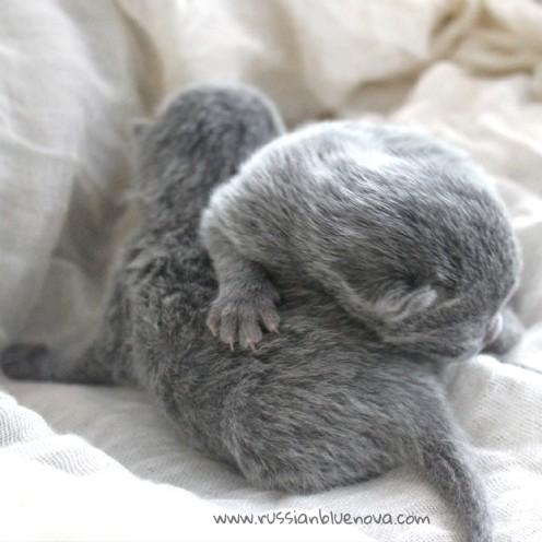 2017.07.05-russianblue kittens azulruso gatito 02