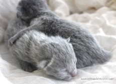 2017.07.05-russianblue kittens azulruso gatito 03