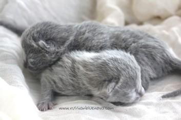 2017.07.05-russianblue kittens azulruso gatito 05