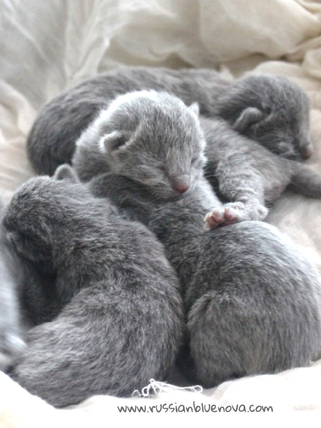 2017.07.05-russianblue kittens azulruso gatito 06