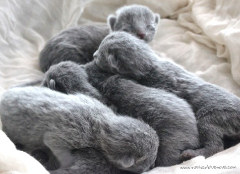2017.07.05-russianblue kittens azulruso gatito 07