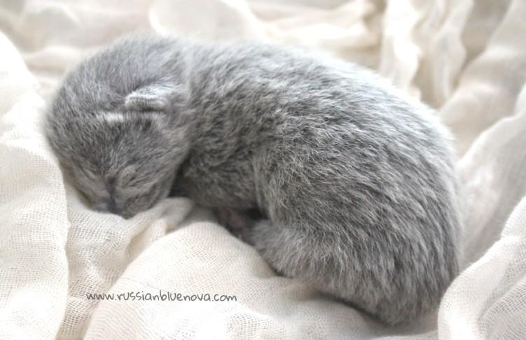 2017.07.05-russianblue kittens azulruso gatito 08