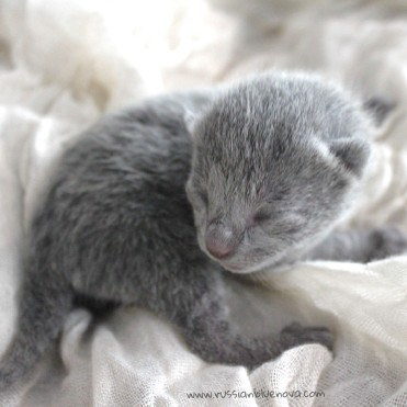 2017.07.05-russianblue kittens azulruso gatito 10