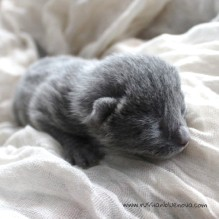 2017.07.05-russianblue kittens azulruso gatito 11