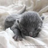 2017.07.05-russianblue kittens azulruso gatito 12