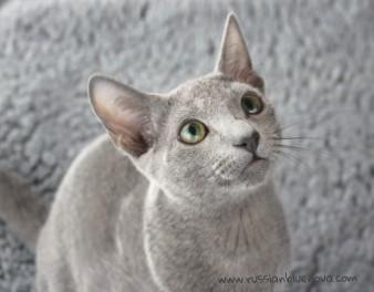 2017.07.23-Comprar Gato azul ruso barcelona russianblue cat barcelona 01