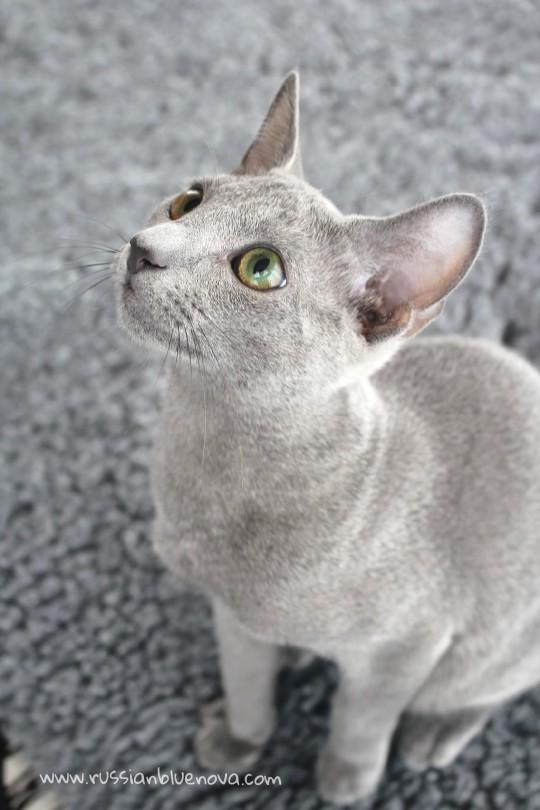 2017.07.23-Comprar Gato azul ruso barcelona russianblue cat barcelona 02