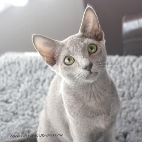 2017.07.23-Comprar Gato azul ruso barcelona russianblue cat barcelona 03