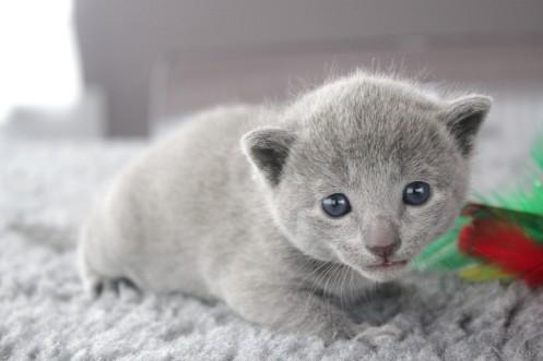 2017.07.23-russianblue kittens azulruso gatito 01 (1)