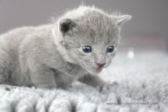2017.07.23-russianblue kittens azulruso gatito 01 (2)