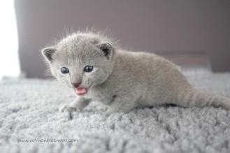 2017.07.23-russianblue kittens azulruso gatito 01 (3)