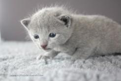 2017.07.23-russianblue kittens azulruso gatito 02 (1)