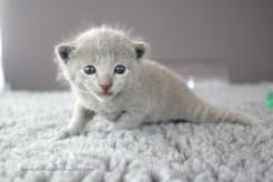 2017.07.23-russianblue kittens azulruso gatito 02