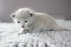 2017.07.23-russianblue kittens azulruso gatito 03