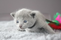 2017.07.23-russianblue kittens azulruso gatito 04