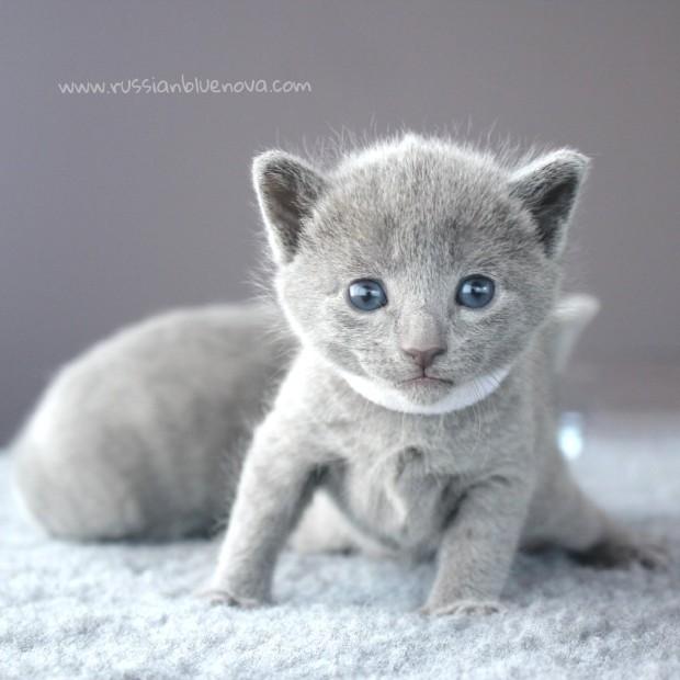2017.07.26-russianblue kittens azulruso gatito 02