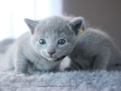 2017.07.27-russianblue kittens azulruso gatito 01