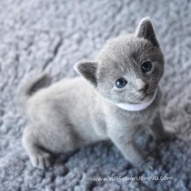 2017.07.27-russianblue kittens azulruso gatito 02
