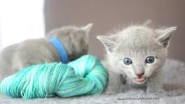 2017.07.30-AM russian blue cat kitten gato azul ruso gatito 01